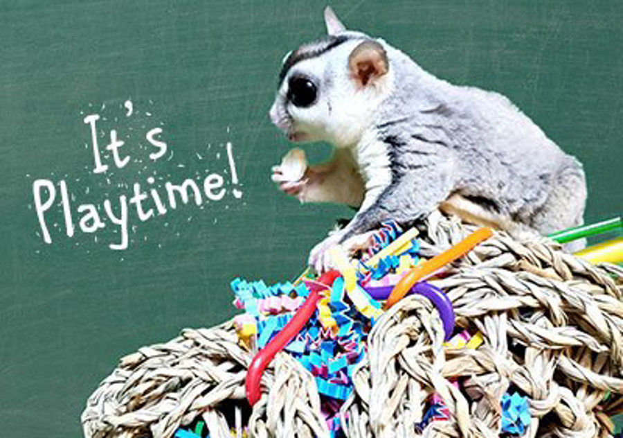 The Importance of Toys & Play for Sugar Gliders